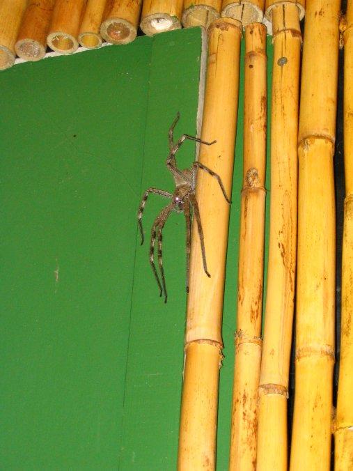 Rain spider of the Underworld