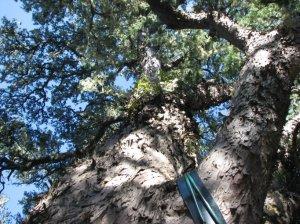 Old Sam - a 600-year-old Yellowwood tree
