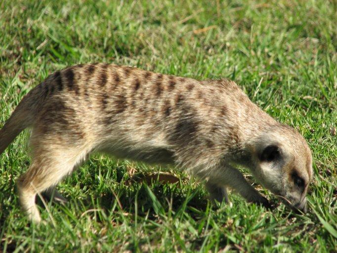 A meerkat foraging