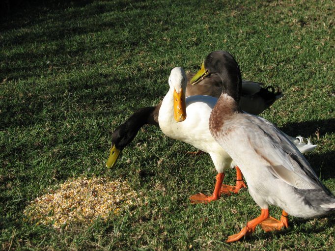 Quacks...