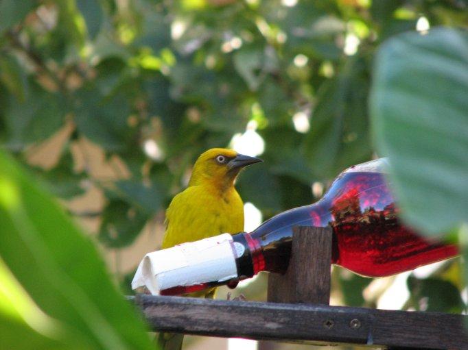 Weaver bird drinking sugar water
