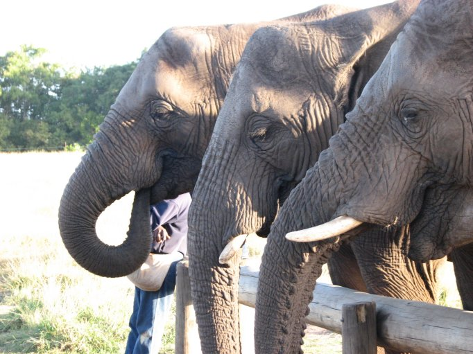 Thandi, Maroela and Jabu at The Crags Elephant Sanctuary