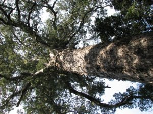 The ancient Yellowwood tree