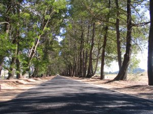 Backsberg Avenue of Trees