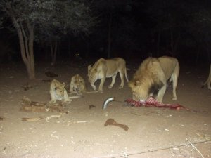 Hungry lions feeding