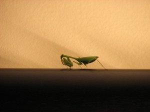 Prowling mantis