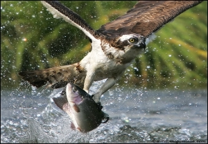 A fish eagle catching supper