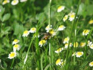 Verily a very busy buzzy bee