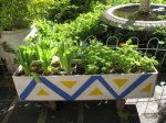 Cos lettuce and curly parsley