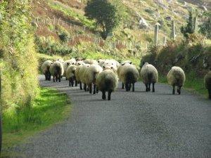A blockade of sheep