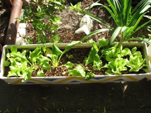 Lettuce and chard