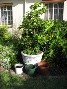 Three pots in front of the lemon tree