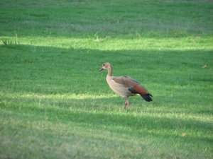 A lonely Egyptian goose looking for its family