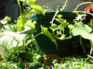 The cucumber plant with flowers