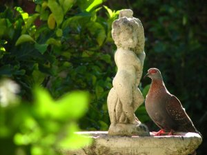 A rock pigeon on the water fountain