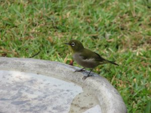 Cape White-eye perched on the edge of the birdbath