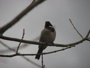 Little Cape sparrow