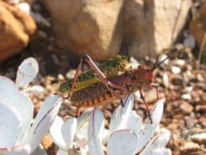 Locusts procreating