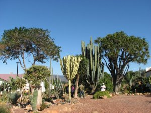 The garden with the 99-year-old cactus