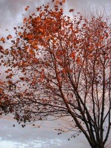 The illuminated plane tree