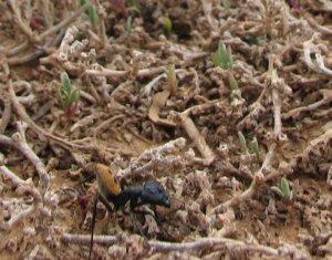 Giant ant