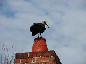 Hadeda ontop of chimney-pot