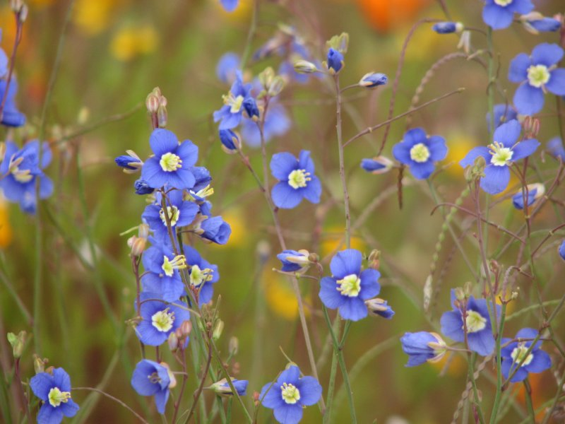 Native Plants with Blue, Purple, Violet, or Lavender Flowers