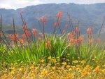 Flower season in Clanwilliam