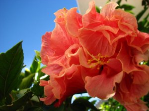 Pink hibiscus blossom