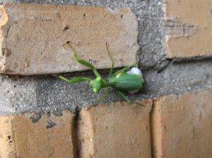 Praying mantis laying eggs