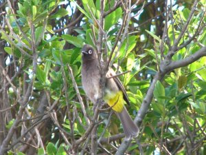 A wary Cape Bulbul looking straight at the camera