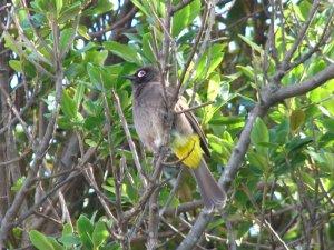 Cape Bulbul keeping an eye on me