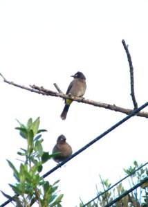A pair of Cape Bulbuls