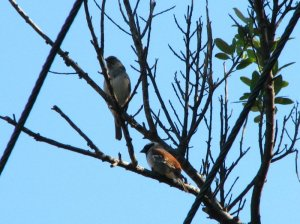 A pair of Cape Sparrows