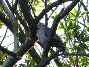 A Cape Turtle Dove waiting for food