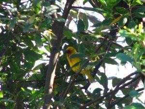 A Cape Weaver bird hides in the foliage