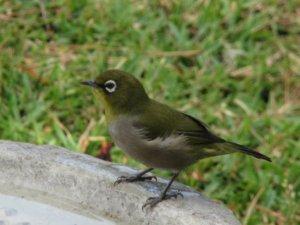 A Cape White-Eye on the edge of the birdbath