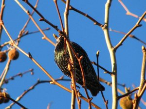 European starling high up in the tree