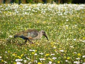 A hadeda ibis among the flowers
