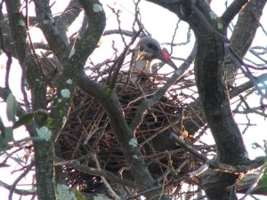 Mrs Hadeda in her nest