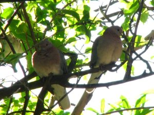 A pair of Laughing Doves sitting companiably next to each other