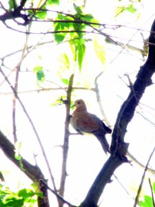 A Laughing Dove keeping a wary eye on me