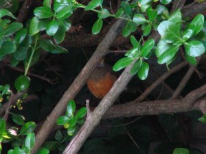 Olive Thrush hidden between the branches of the hedge