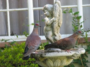 A pair of Rock Pigeons on the fountain
