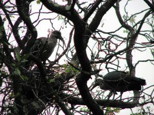 Two hadedas in the big tree
