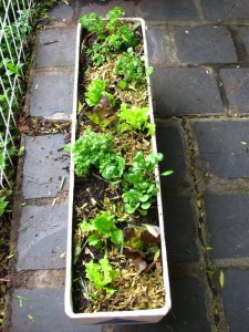 Lettuce, parsley and watercress