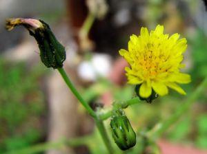 Yellow flower - dandelion or cats ears?