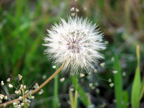 The Chalice of Wisdom - Part 1 - Page 3 Dandelion-parachute-ball