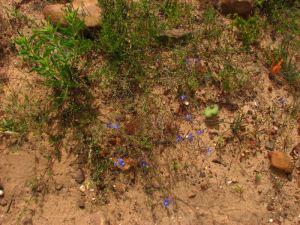 Delicate blue flowers