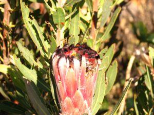 Blue Sugarbush (Protea neriifolia) with beetle